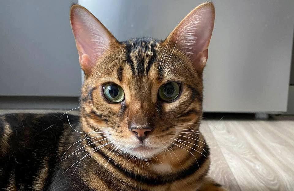 Особенности бенгальского кота