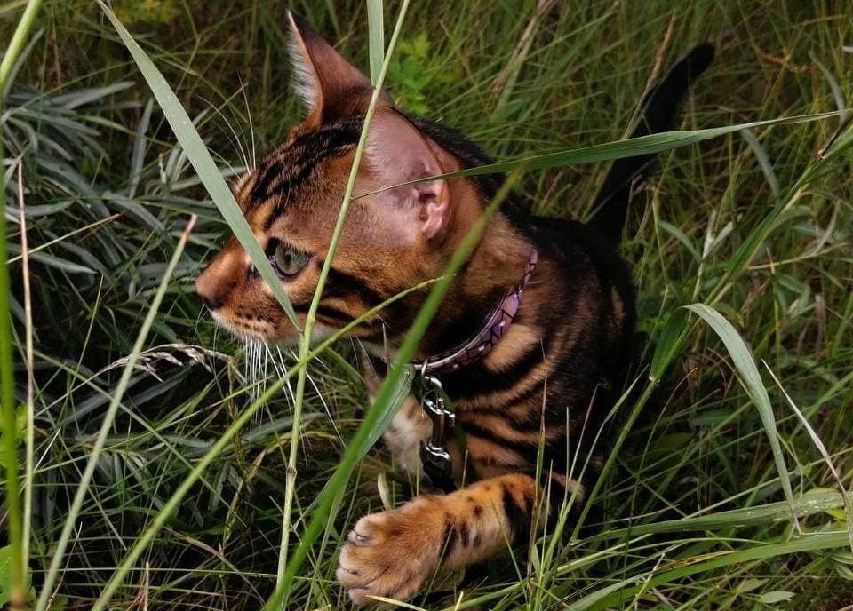 фотография бенгальского кота
