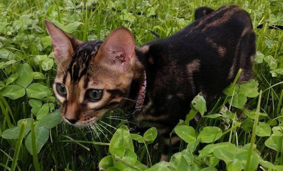размер взрослого бенгальского кота