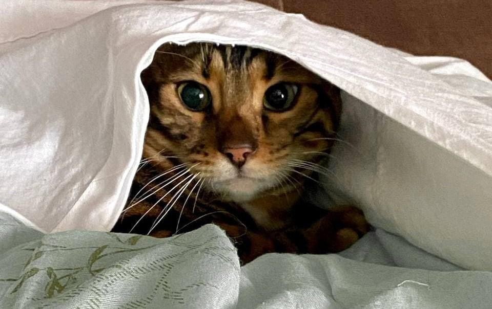 глаза бенгальского кота