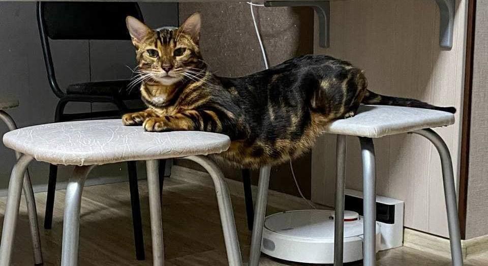 вес бенгальского кота